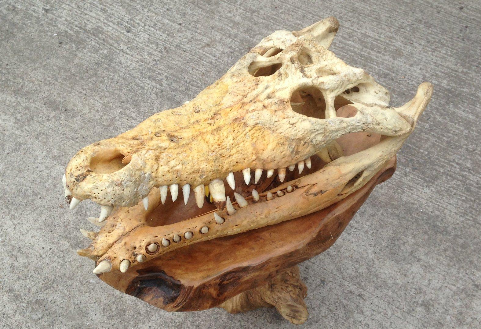 Real Crocodile Skull Croc Chiselcraft